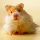 The hamster who won't leave Fort Irwin